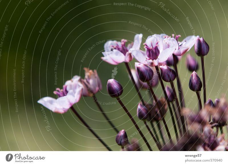 Blümchen vom Bachufer Natur Pflanze Blume Blüte violett zart Flussufer Bach Blütenknospen Wildpflanze Pflanzenteile Wasserpflanze Teleobjektiv Schwanenblumengewächse Schwanenblume
