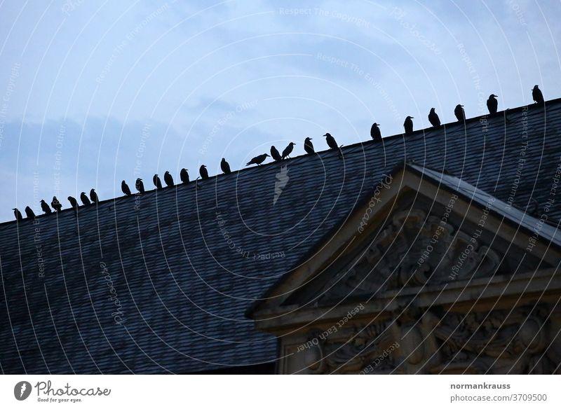 Krähen auf einem Dach krähen raben vogel stadt rabenvogel dämmerung haus silhouette tier kontrast dach deutschland abend
