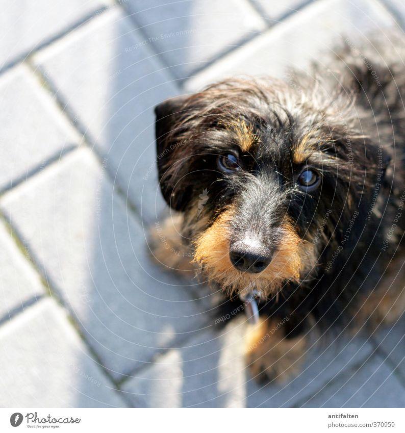 Des Menschen bester Freund Tier Haustier Hund Tiergesicht Fell Pfote Dackel 1 Stein Backstein beobachten hocken Freundlichkeit niedlich braun grau schwarz