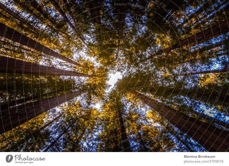 Nachschlagen. Baumwipfel im Redwood National and State Park, Kalifornien Tops Wald Riese Sequoia Mammutbäume Tourismus Nationalpark Mammutbaum Landschaft