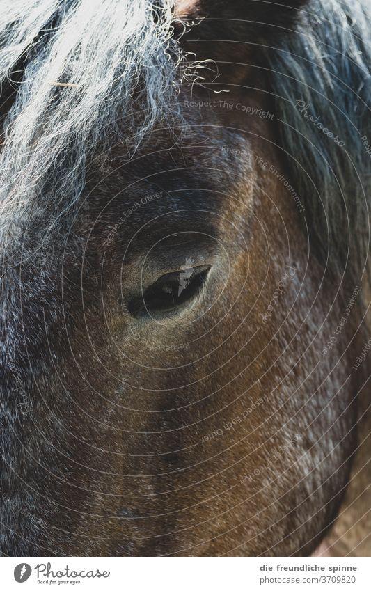 Pferdeblick Auge stolz edel Tier Blick schön Außenaufnahme Farbfoto Kopf Nahaufnahme Pferdekopf Tierporträt Blick in die Kamera Mähne Tiergesicht Natur Nutztier