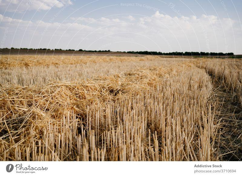 Feld mit geerntetem Getreide im Sonnenlicht Ernte Ackerbau Agronomie gold Gras Natur Landschaft Blauer Himmel trocknen organisch geschnitten malerisch Stroh