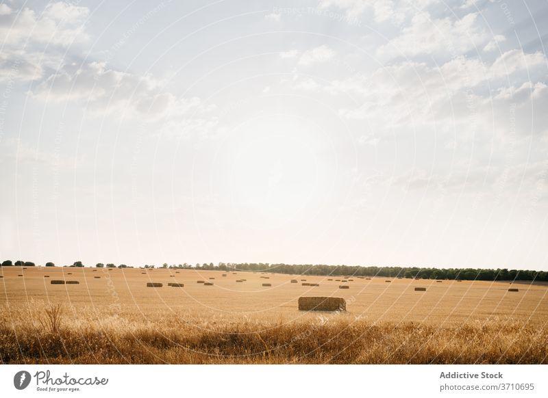 Goldenes Feld mit Hutstapeln im Sonnenlicht Landschaft Heu Stapel rollen golden ländlich Natur Ackerbau Bauernhof Ernte Ackerland Sommer Blauer Himmel Saison