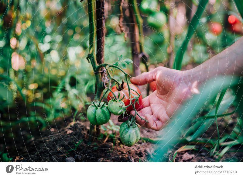 Gärtner erntet Bio-Tomaten im Sommergarten Ernte pflücken abholen Garten organisch natürlich Landwirt Hand rot reif wachsen Gemüse Pflanze Lebensmittel