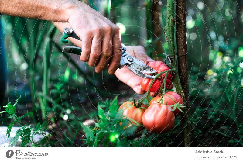 Gärtner erntet Tomaten im Garten Ernte pflücken abholen Schere Werkzeug Landwirt geschnitten rot reif wachsen Gemüse organisch natürlich Pflanze Lebensmittel