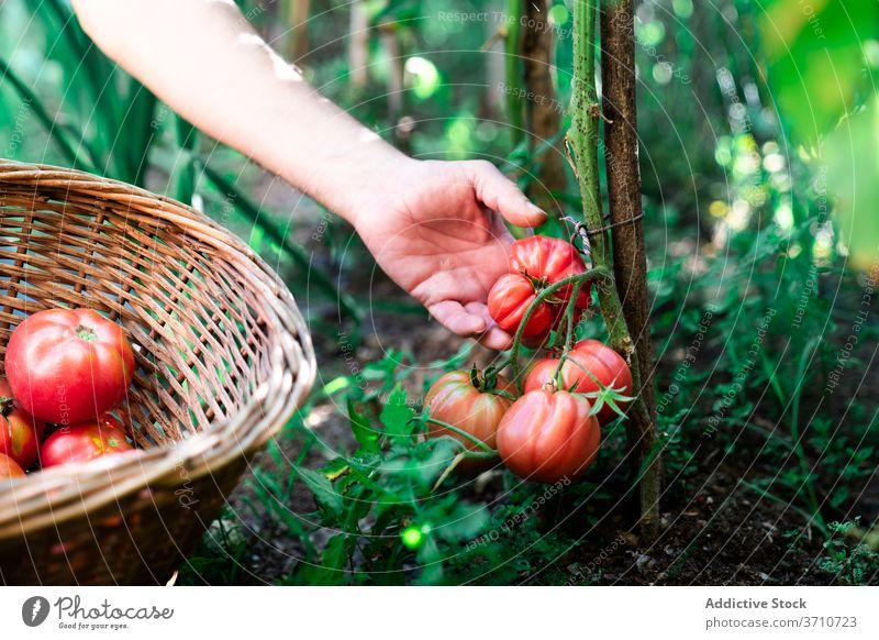 Gärtner erntet Bio-Tomaten im Sommergarten Ernte pflücken abholen Garten organisch natürlich Landwirt Hand Korb rot reif wachsen Gemüse Pflanze Lebensmittel