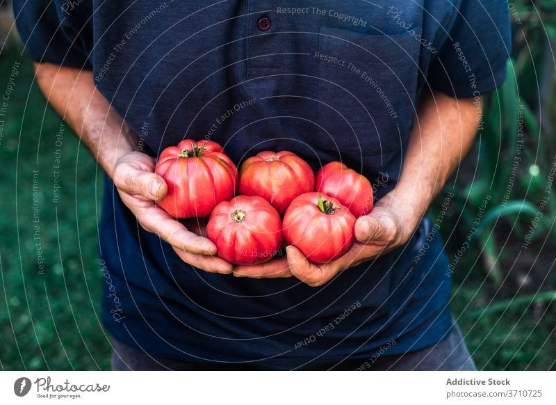 Mann mit frisch geernteten Tomaten im Garten Ernte Gärtner rot reif Gemüse organisch natürlich Landwirt führen zeigen manifestieren wachsen Lebensmittel
