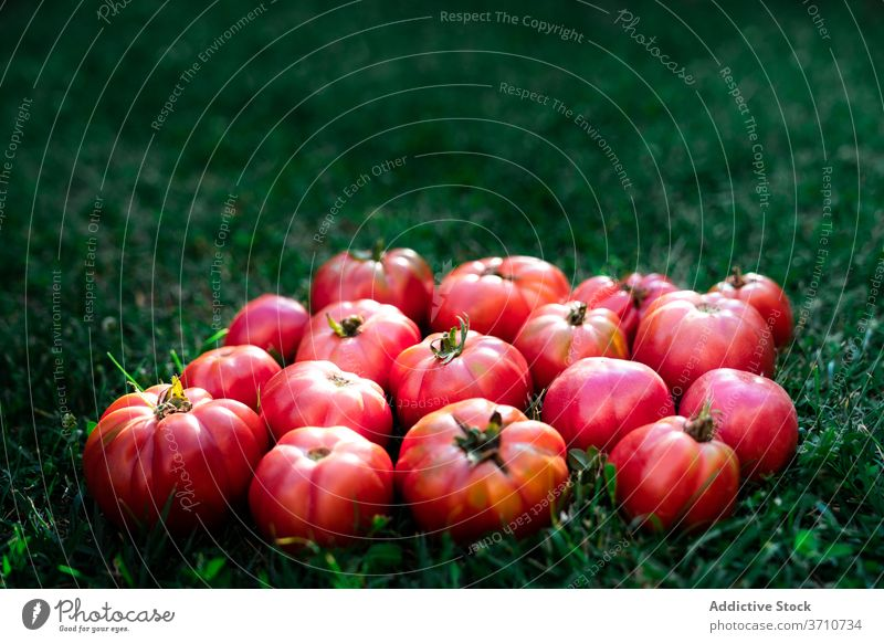 Rote Tomaten auf grünem Gras Ernte Garten rot reif Gemüse organisch natürlich Lebensmittel Saison Sommer Gartenbau vegetieren Umwelt Agronomie Haufen hell