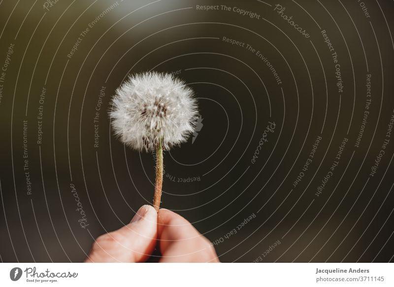 Pusteblume in der Hand Löwenzahn Pflanze Natur Blume Nahaufnahme Samen Detailaufnahme Außenaufnahme Wildpflanze weiß grün Wind fliegen leicht Sommer Luft
