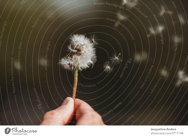 Samen der Pusteblume fliegen durch die Luft Löwenzahn Pflanze Natur Blume Nahaufnahme Detailaufnahme Außenaufnahme Wildpflanze weiß grün Wind leicht Sommer