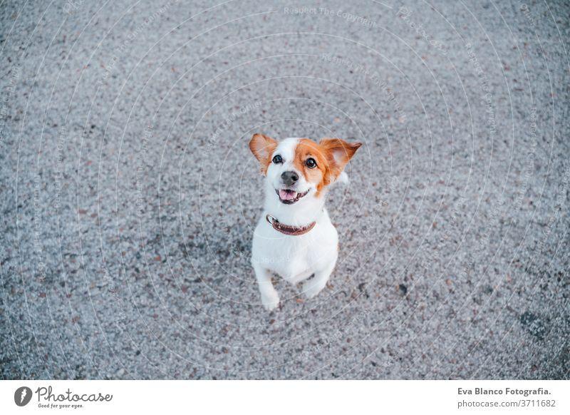Porträt eines süßen Jack-Russell-Terrier-Hundes auf der Straße. Haustiere im Freien und Lebensstil jack russell niemand urban Großstadt niedlich schön jung