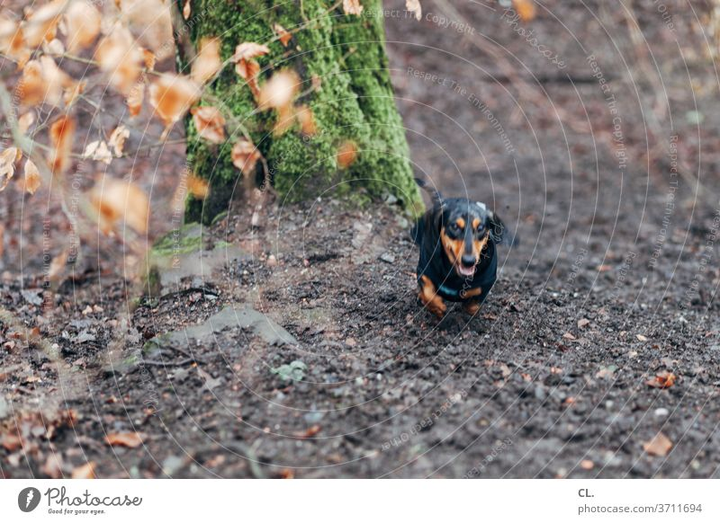 die wilde jagd Hund Dackel Tier Wald Bewegung niedlich Jagd jagen klein rennen Haustier Spielen Freude Tierliebe Lebensfreude draußen Außenaufnahme Menschenleer