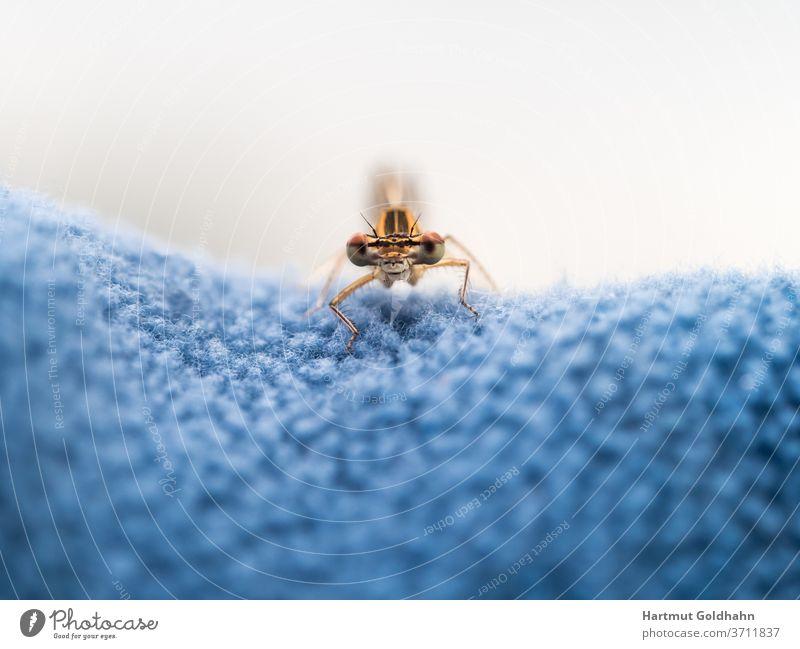 Blick auf die Augen einer gelben Libelle die auf blauen Vlies sitzt und in das Objektiv der Kamera schaut. Insekt Vorderansicht frontal Nahaufnahme