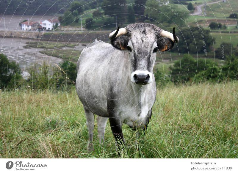 Rind mit grauem Fell und schwarzen Augen Kuh aug in aug Blick in die Kamera Stier Tierporträt Viehzucht dunkle Augen schwarze augen Tiergesicht Rinderhaltung
