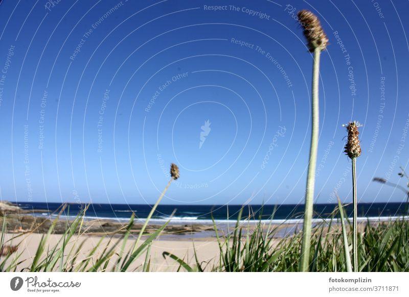 Dünengras im Vordergrund mit Blick auf Strand und Meer Grashalme Halm Stranddüne Umwelt Natur Außenaufnahme Küste Landschaft Ferien & Urlaub & Reisen Atlantik