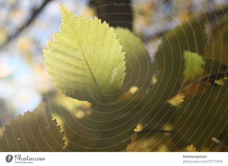 leuchtendes Buchenblatt Herbst Blatt herbstlich Herbstbeginn Schwache Tiefenschärfe Natur grün Unschärfe Herbstlaub Herbstfärbung Nahaufnahme Herbstlicht