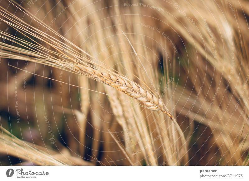 Getreideähren im Gerstenfeld. Landwirtschaft landwirtschaft Sommer Weizen Wachstum Ähren Pflanze Nutzpflanze Natur Kornfeld Ackerbau Ernährung Getreidefeld