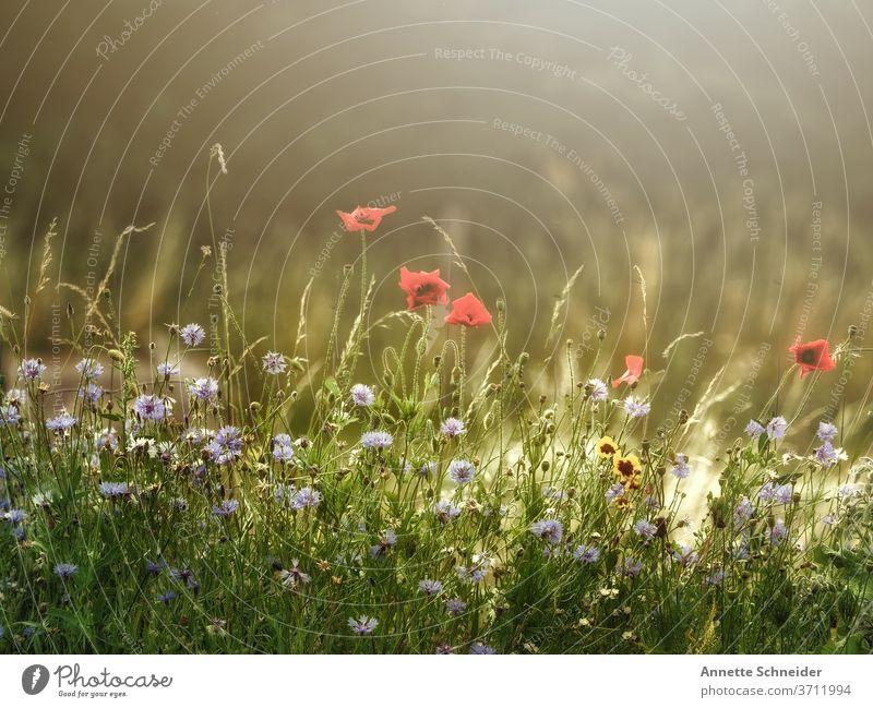 Blumenwiese Wiese Sommer grün Natur Pflanze Farbfoto Gras Blühend Wiesenblume Umwelt sommerlich rot Feld Mohn Sonne
