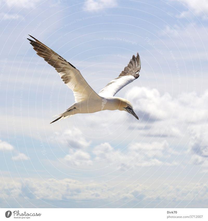 Basstölpel im Flug fliegen fliegend Freiheit Flügel seevogel Vogel Tier Außenaufnahme Himmel Natur Wildtier Farbfoto blau weiß Tag frei Menschenleer Luft
