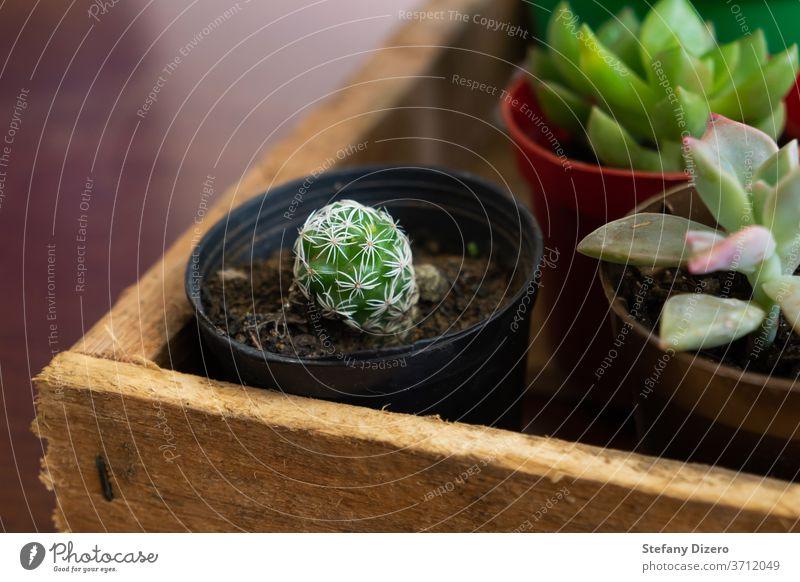 Fingerhut-Kaktus oder Mammillaria gracilis auf einer Holzkiste. grün Pflanze Sukkulente natürlich Dekoration & Verzierung Natur Garten Wachstum Gartenarbeit