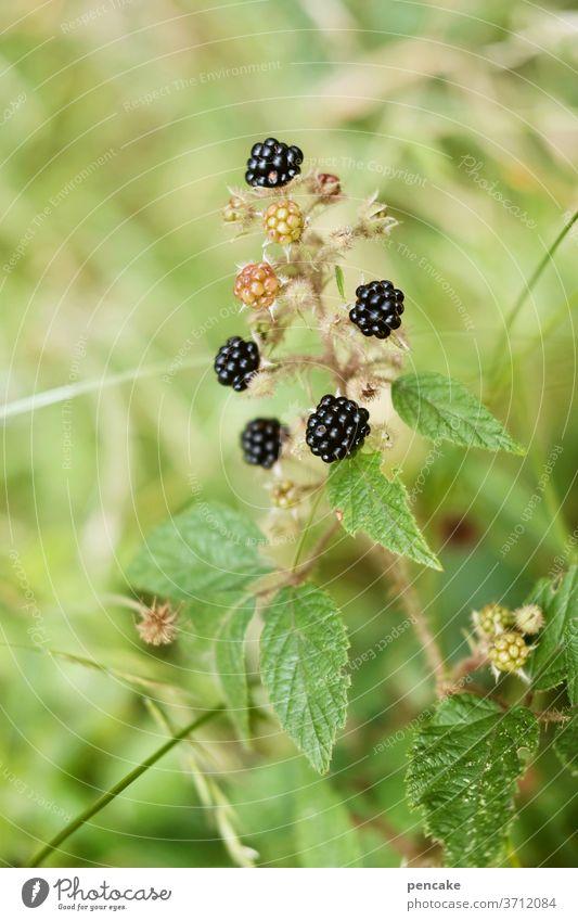 wilde früchte Wald Wildpflanze Brombeeren schwarz Natur Nahaufnahme Frucht süß Schwache Tiefenschärfe Gesundheit Beeren frisch lecker Sommer