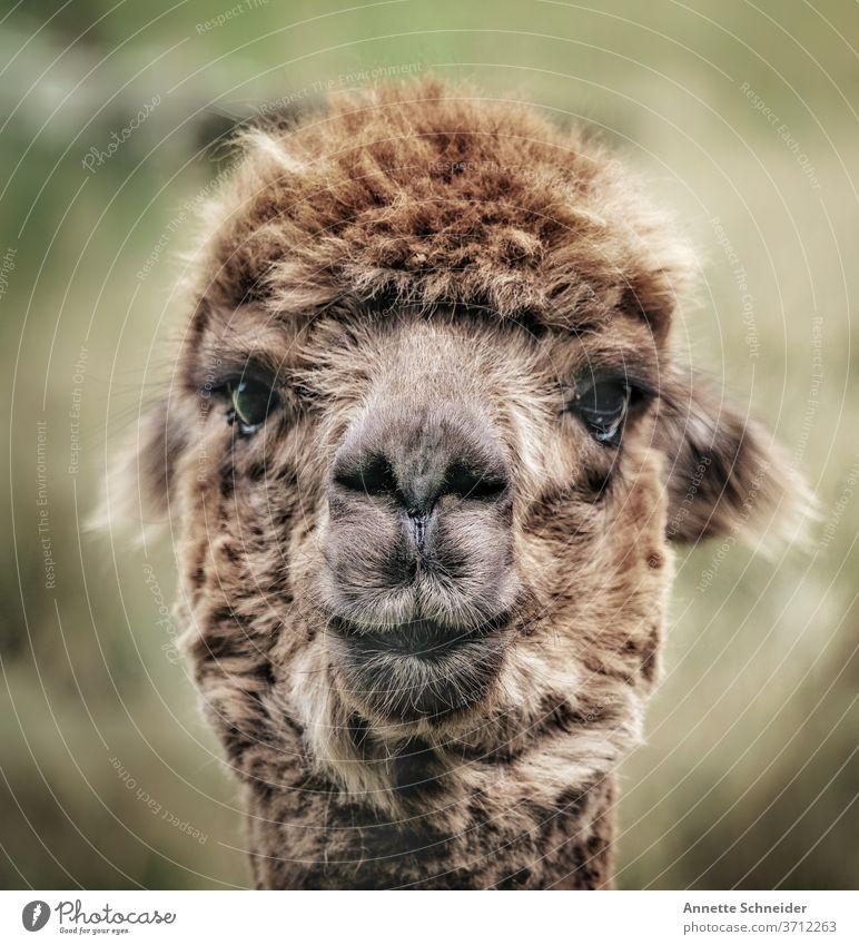 Alpaka Farbfoto Außenaufnahme braun Nutztier niedlich Tiergesicht Fell Blick in die Kamera beobachten Schwache Tiefenschärfe Menschenleer Haustier Nahaufnahme