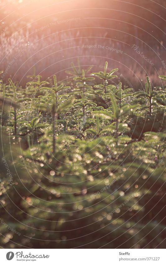 Spätnachmittag Umwelt Natur Landschaft Pflanze Sonnenaufgang Sonnenuntergang Sonnenlicht Sommer Schönes Wetter Tanne Tannenzweig Nadelbaum leuchten ruhig