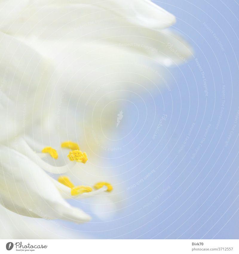 Detail einer weißen Blüte Blütenblatt Staubfäden Staubgefäße Blütenstaub Pollen blau Hintergrund neutral zart hell wachsen blühen blühend Wachstum Schönheit