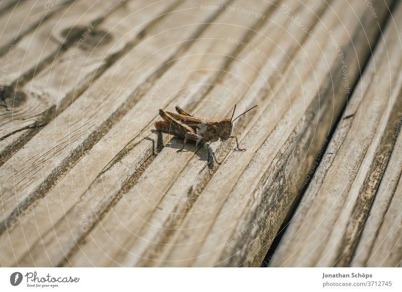 Heuschrecke sitzt auf dem Holzboden Makro Außenaufnahme Bretter Detail Fluginsekt Gliederfüßer Insekt Nahaufnahme Neuflügler Orthoptera Sechsfüßer Sonnenlicht