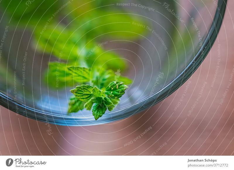 frische Zitronenmelisse im Krug aus Glas für Melissentee Achtsamkeit Detail Glaskrug Innenaufnahme Kanne Makro Nahaufnahme Nerven Tee beruhigend frische Melisse