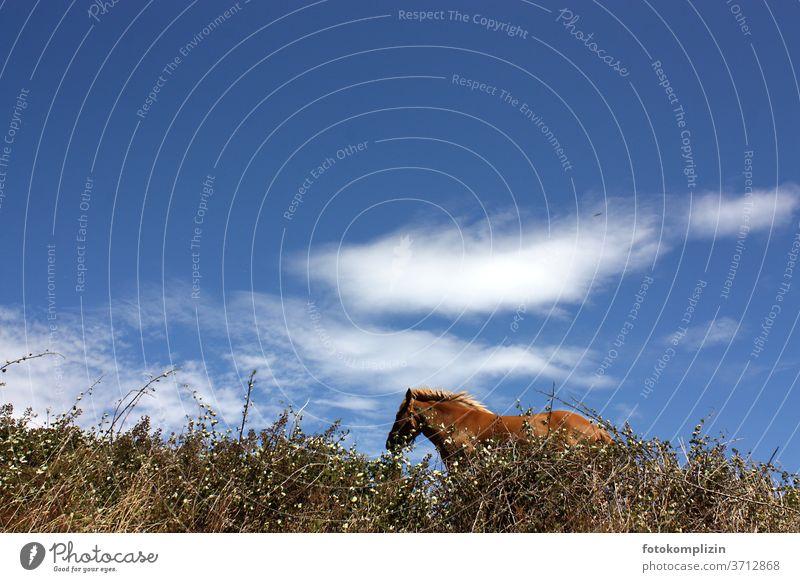 freies Pferd hinter Hecke von unten gegen blauen Himmel mit Wolken wind windig himmel wolken tier Wind wild Mähne Island Ponys Freiheitsdrang natürlich Wildtier