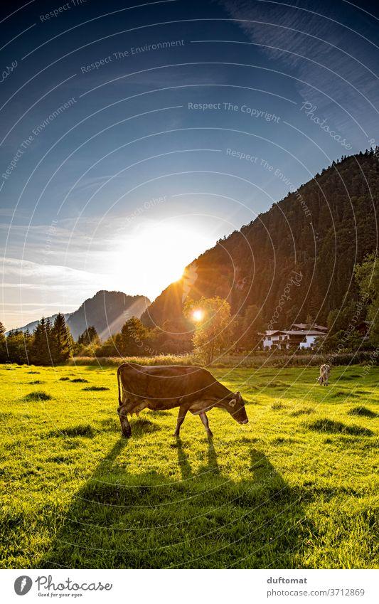 Kuh auf der Weide im Sonnenuntergang Gegenlicht Wiese Tier Stimmung stimmungsvoll Natur Nutztier Rind Landwirtschaft Gras Biologische Landwirtschaft