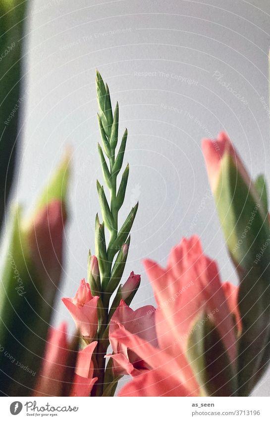 Gladiolen Blumen Pflanze Blüte Natur Farbfoto Blühend Garten Sommer grün Nahaufnahme Detailaufnahme Unschärfe Schwache Tiefenschärfe Makroaufnahme schön