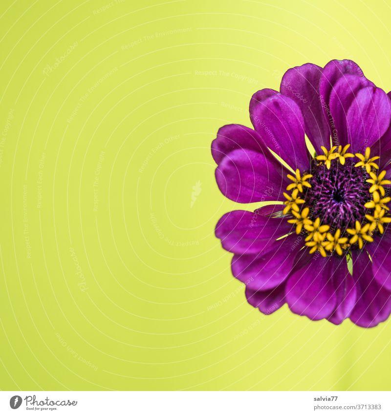 lila Zinnienblüte vor gelbem Hintergrund Blume Blüte Natur Pflanze Nahaufnahme Blühend Farbfoto Hintergrund neutral violett Detailaufnahme schön Menschenleer