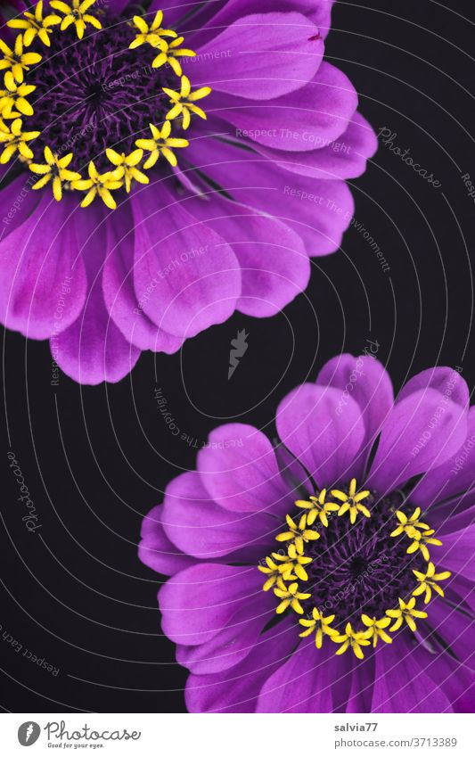lila Blümchen mit gelben Sternchen Blüten Blume Zinnie Deko Pflanze Natur violett Sommer Blühend Freisteller Menschenleer Farbfoto Detailaufnahme Makroaufnahme