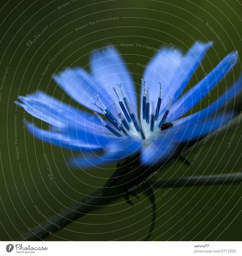 blaue Schönheit Wegwarte Blume Blüte Ziechorie Natur Blühend Sommer Pflanze Duft Garten schön Schwache Tiefenschärfe Farbfoto Makroaufnahme Textfreiraum unten