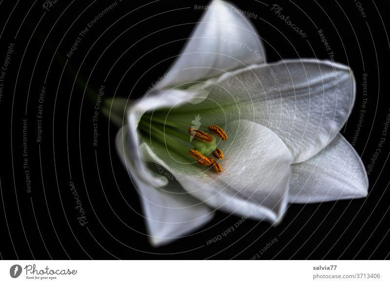 weiße Lilie vor schwarzem Hintergrund Blume Blüte Makroaufnahme Pflanze Lilien schwarzer hintergrund Natur Blütenblatt Blütenstempel schön Blühend