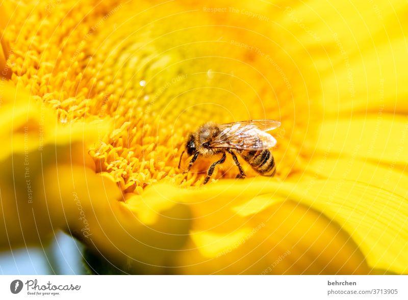 doofer regen Nektar Honig Pollen Tier Sonnenblume Nahaufnahme Wiese Flügel fliegen Biene Hummel Garten Landschaft schön Blütenblatt Umwelt Wärme Blütenstaub