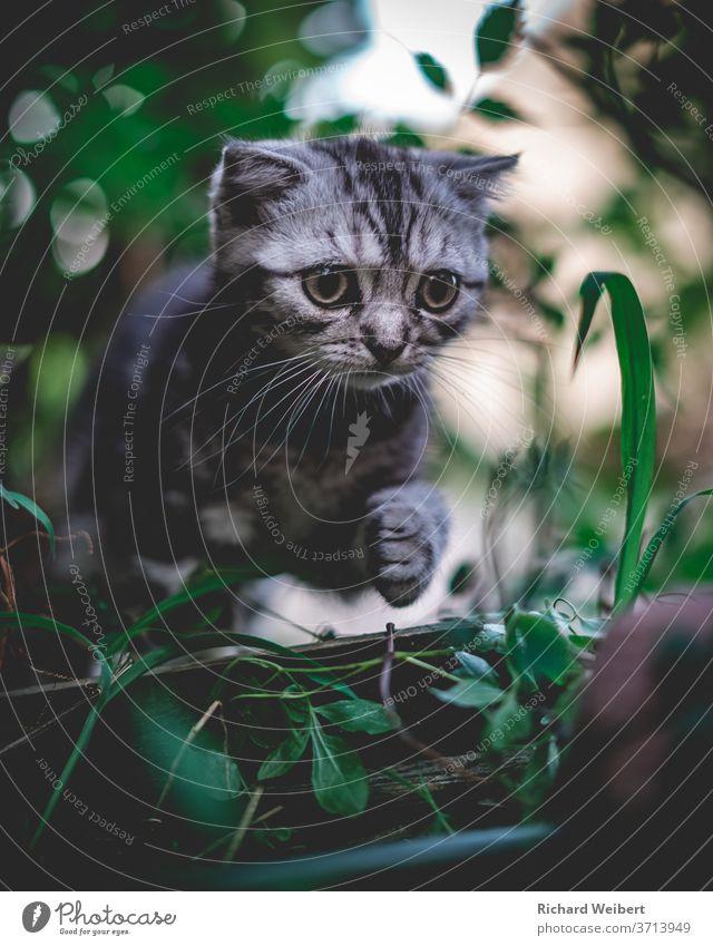 Kleines Kätzchen erkundet die Welt und steigt dabei über ein Stück Holz Kätzchen Katze Kätzchen im Gras Kätzchen im Busch Katzenbaby Katzenauge Katzenkopf