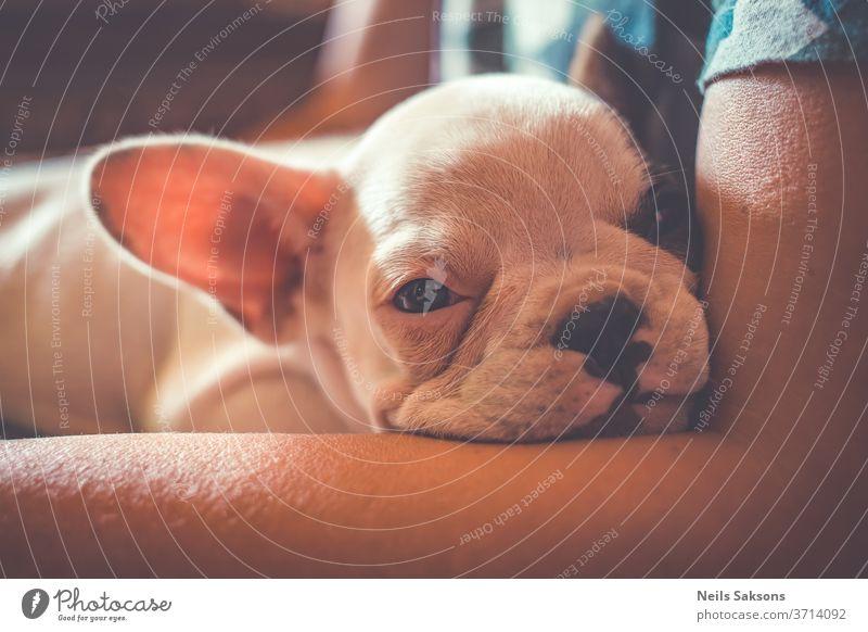 Süßer französischer Bulldoggen-Welpe entspannt sich an Herrchens Busen Hund Tier Haustier Französisch niedlich französische Bulldogge Eckzahn weiß Porträt