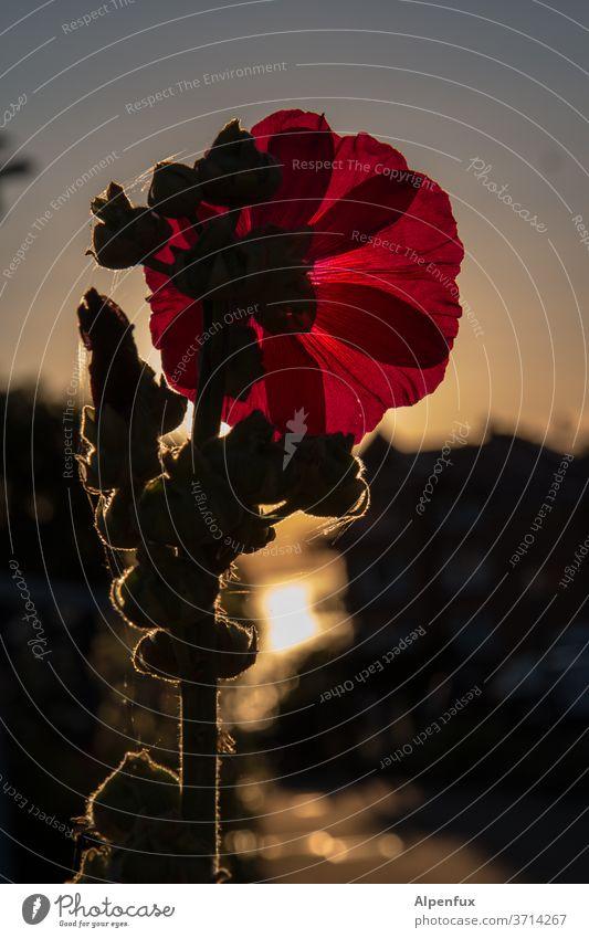 Abendgruß Blume Sonnenuntergang Pflanze Blüte Dämmerung Menschenleer Natur Sonnenlicht Gegenlicht Außenaufnahme Licht Umwelt Wärme Sommer Farbfoto rot Blühend