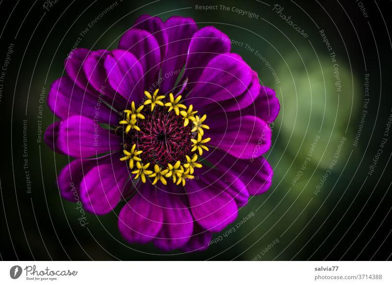 Farbkombination | Zinnienblüte, lila-gelb Natur Blume Blüte Pflanze Garten Sommer Blühend Nahaufnahme Makroaufnahme Farbfoto Duft natürlich violett schön