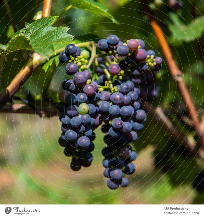 Blaue Trauben eines Weinbergs Weinbau Weingut Winzer blau Traubenstilleben Weinlese Pflanze Weintrauben