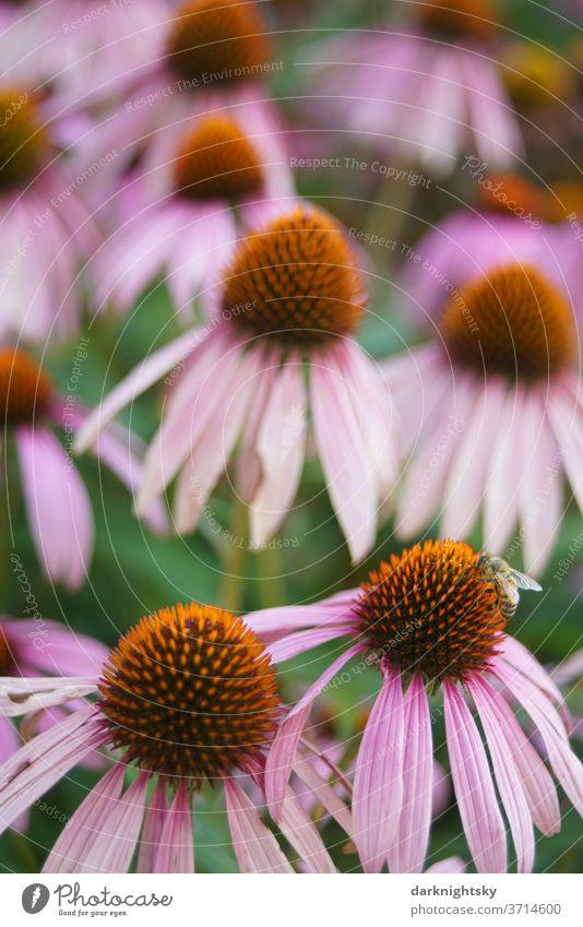 Echinacea purpurea im Detail mit Biene Sonnenhut Garten Park lila violett rosa welke verwelkt grün Blüten Blume Natur natürlich Blühend Sommer Pflanze Farbfoto