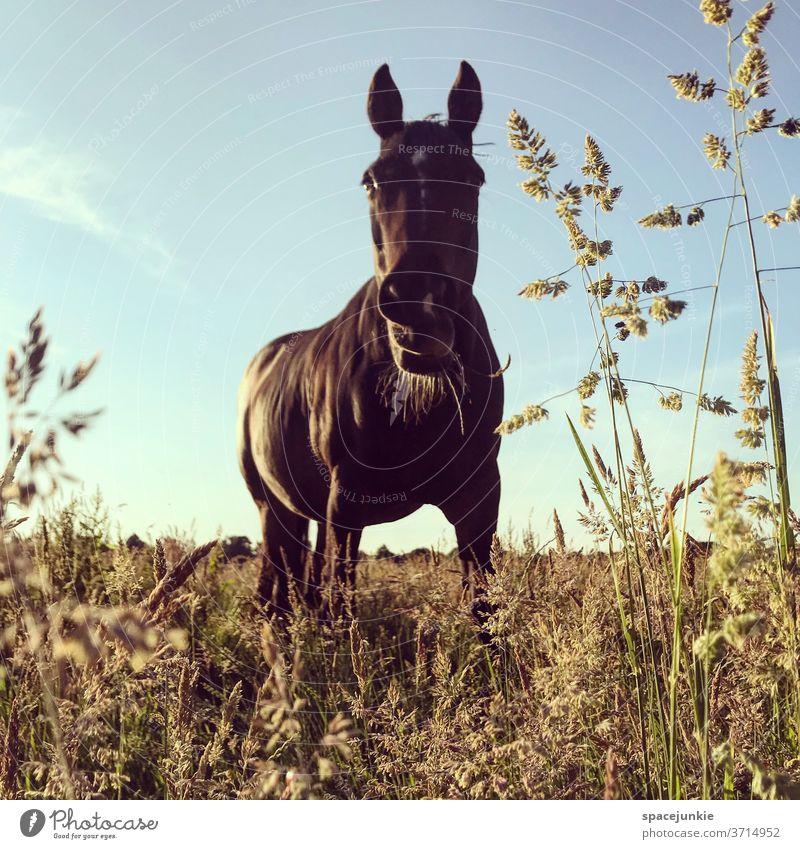 Just a horse. Pferd Weide Gras Grashalm Sommer Abend Natur Tier Einsam Fressen Aussenaufnahme Wiese Landschaft Himmel Menschenleer Umwelt Nutztier Sonnenlicht