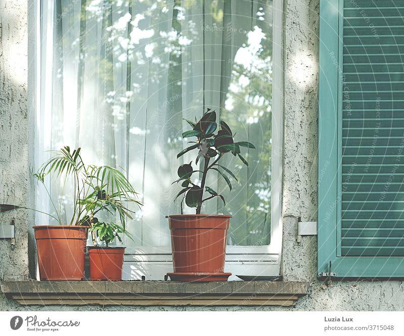 Topfpflanzen vor dem Fenster, grüner Fensterladen und Sonnenlicht Gummibaum Fächerpalme Rauputz Menschenleer Farbfoto Außenaufnahme Tag Mauer Wand alt