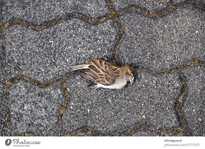 Ein heißer, trockener Sommer fordert seine Opfer. Toter Spatz auf Verbundsteinpflaster mit vermoosten Fugen. Vogel Stein Tier Außenaufnahme Farbfoto