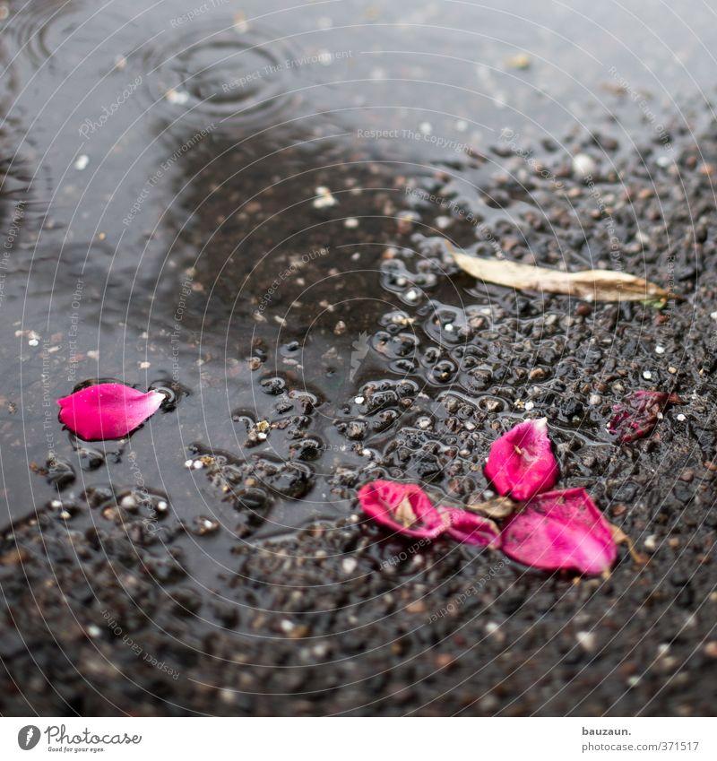 ut köln   ehrenfeld II   verblüht. Gartenarbeit Umwelt Natur Erde schlechtes Wetter Regen Rose Blüte Park Straße Wege & Pfade Blühend liegen grau rosa
