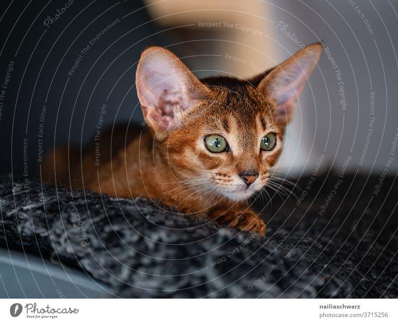 Katze liegt auf dem Teppich Abessinier Katzen Abessinierkatze natürlich Idylle Fröhlichkeit Interesse Zufriedenheit Innenaufnahme elegant Tierliebe Haustier