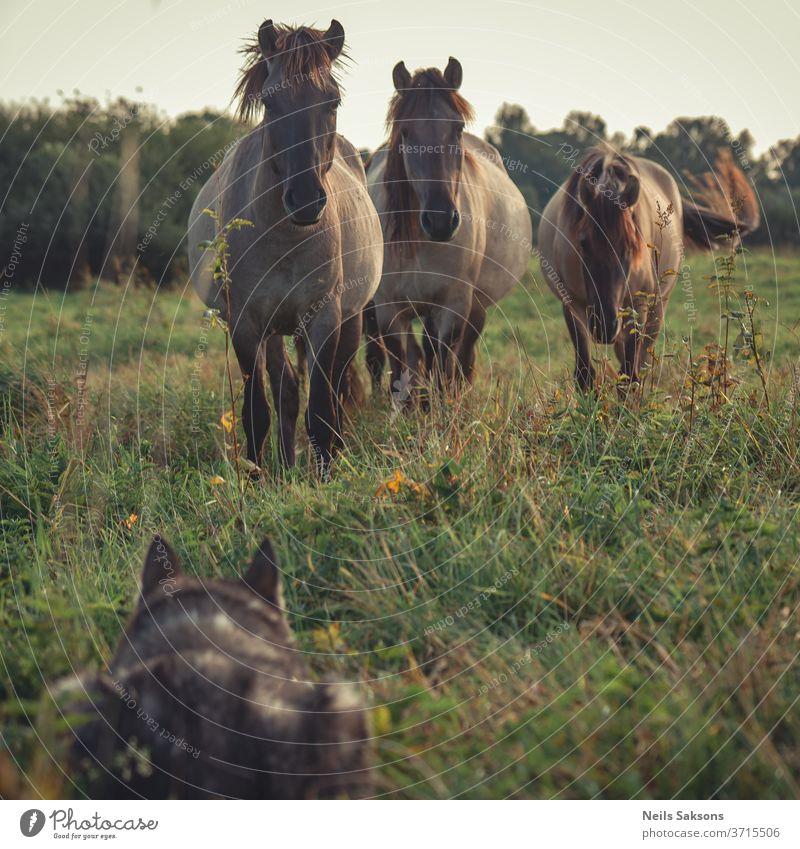 drei Wildpferde, die einen im Gras versteckten Schlittenhund suchen Pferd Tier Pferde Natur Feld braun wild Wiese Fohlen Tiere Säugetier Hengst ländlich grün